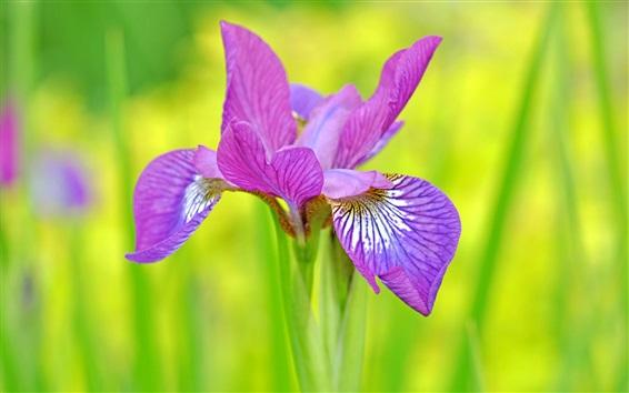 Обои Фиолетовый лепестки ириса крупным планом, зеленый фон