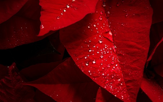 Wallpaper Red leaves, water droplets