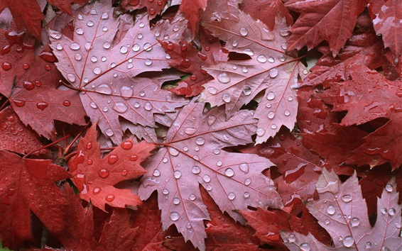 Wallpaper Red maple leaves, autumn, water droplets