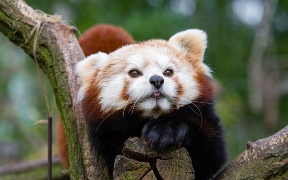 Fondos de pantalla Panda roja, fotografía de los animales