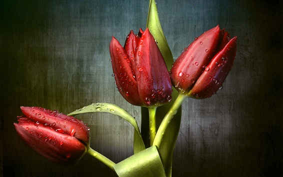 Wallpaper Red tulips, dew, green leaves