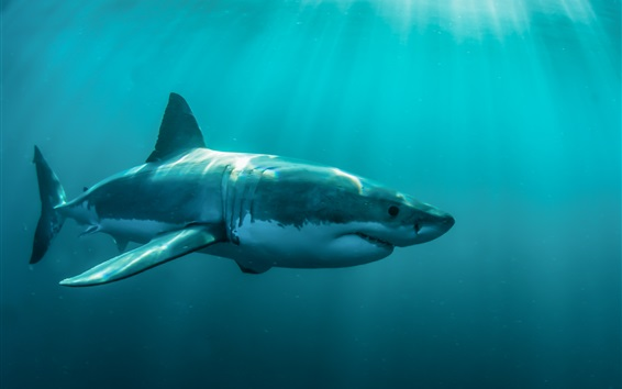 Papéis de Parede Mar, animais, tubarão, debaixo d'água