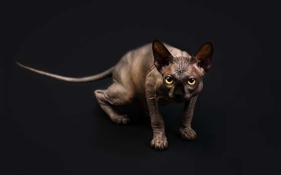 Wallpaper Sphynx cat, yellow eyes
