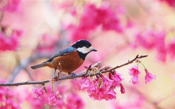 Papéis de Parede Primavera, floração, flores rosa, pássaro