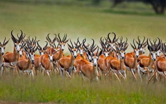 Papéis de Parede Springbok rebanho, fotografia de vida selvagem