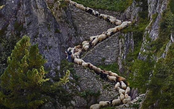 Wallpaper Steep stone stairs, sheep, cliff