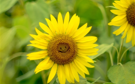Wallpaper Sunflowers close-up, yellow petals