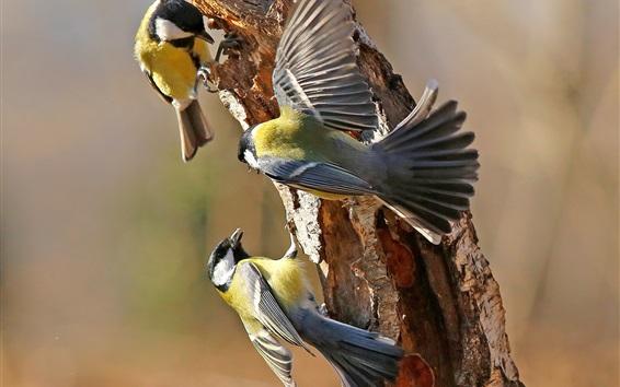 Papéis de Parede Três, pássaros, tit, árvore