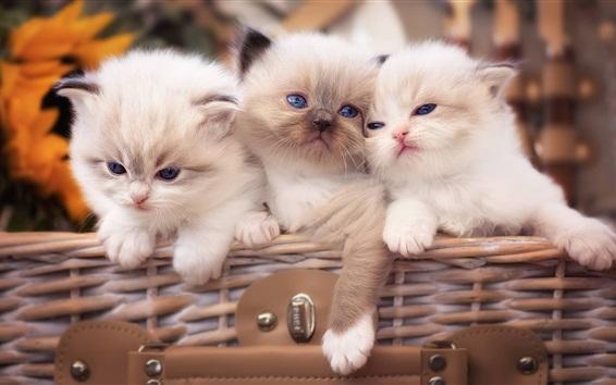 Обои Три белых котят, голубые глаза