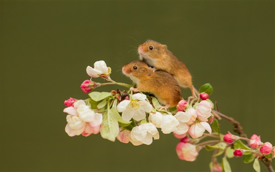Обои Две крысы, розовые цветы