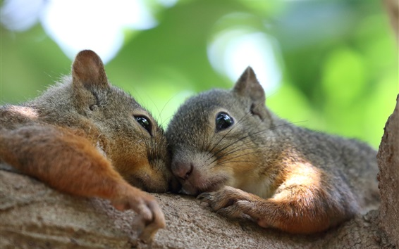 Wallpaper Two squirrels