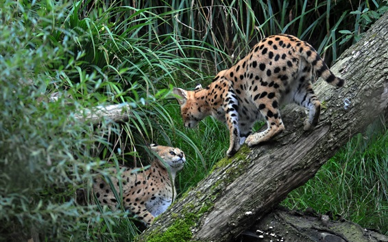 Wallpaper Two wild cats, serval, grass
