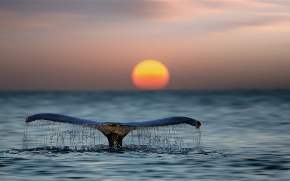 Wallpaper Whale tail out water, sea, sunset