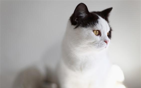 Papéis de Parede Gato branco, orelhas pretas, olhos amarelos