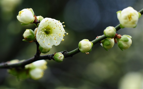 Wallpaper White plum flowers, twigs