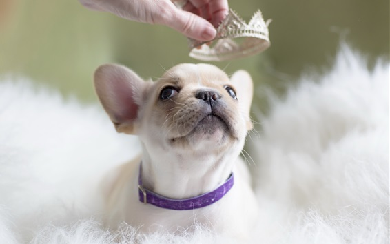 Wallpaper White puppy and crown