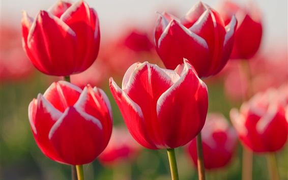 Papéis de Parede Branca, vermelho, pétalas, tulipa, close-up