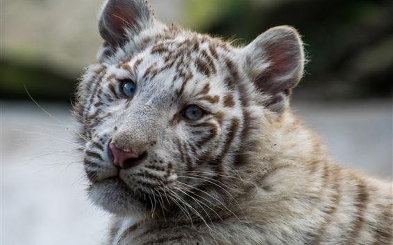 Fond d'écran Blanc, tigre, lion, regarder, dos