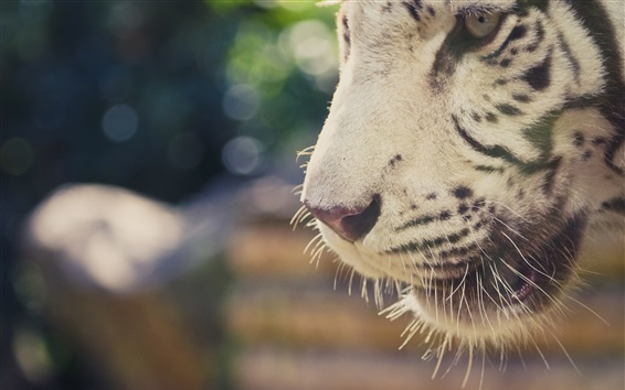 Wallpaper White tiger mouth close-up