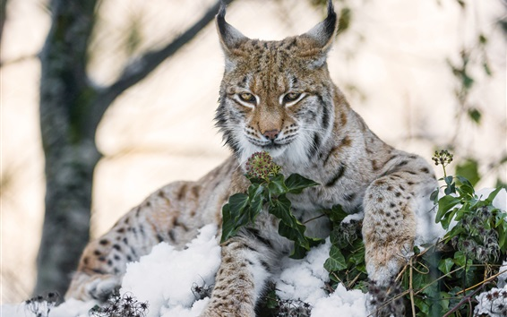Wallpaper Wild cat, lynx, snow, winter, wildflowers