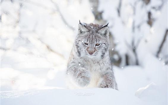 Wallpaper Wild cat, winter, snow, lynx