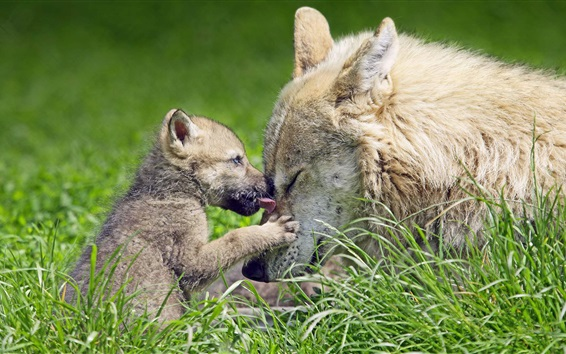 Wallpaper Wolf cub and mother, grass