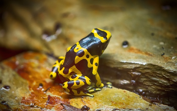 Wallpaper Yellow spotted frog