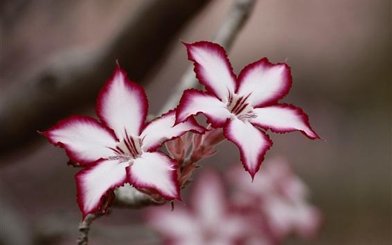 Papéis de Parede Adenium, pétalas roxas brancas