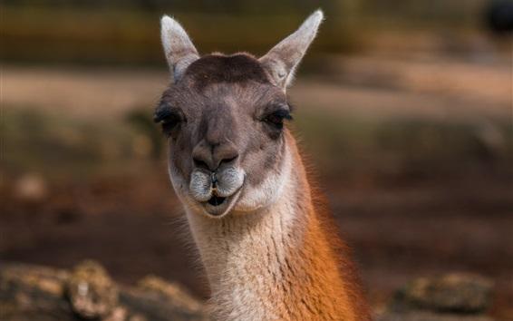 Papéis de Parede Alpaca, cabeça, close-up