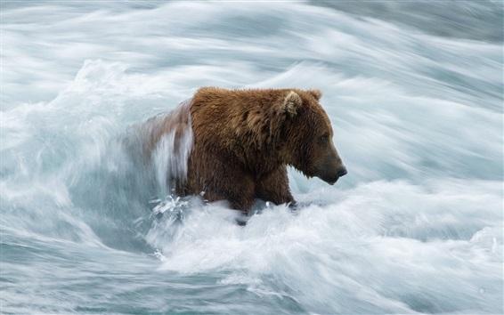 Wallpaper Bear in river, stream