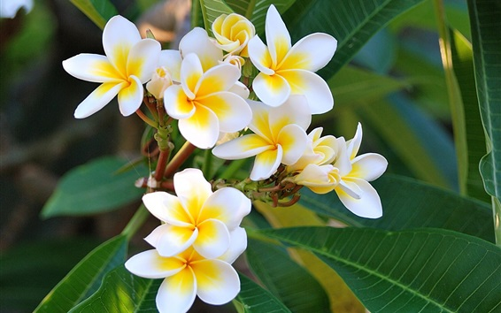 Wallpaper Beautiful plumeria photography, twigs
