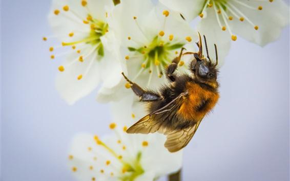 Fond d'écran Abeilles et fleurs blanches, pollinisation