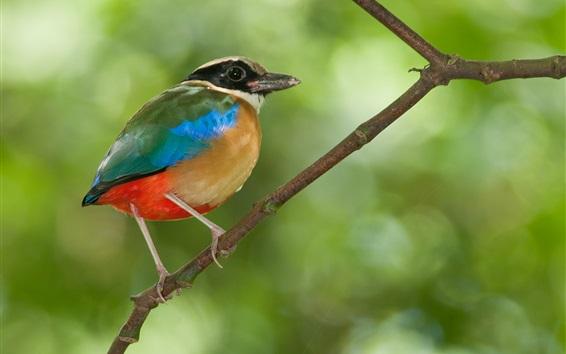 Papéis de Parede Close-up do pássaro, belas penas, galhos