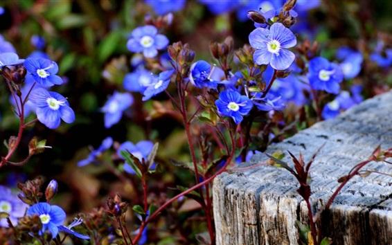 壁紙 青い小さな花の写真