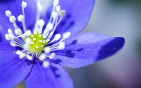 Wallpaper Blue petals anemone flower close-up