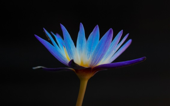 Wallpaper Blue petals water lily, black background