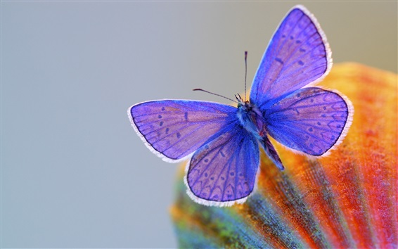 Wallpaper Blue wings butterfly, insect