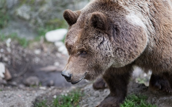 Papéis de Parede Marrom, urso, peludo, cabeça