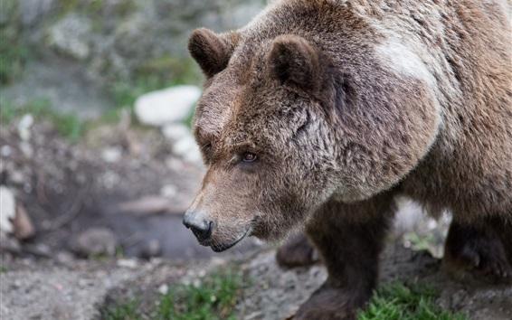 Обои Бурый медведь, пушистый, голова
