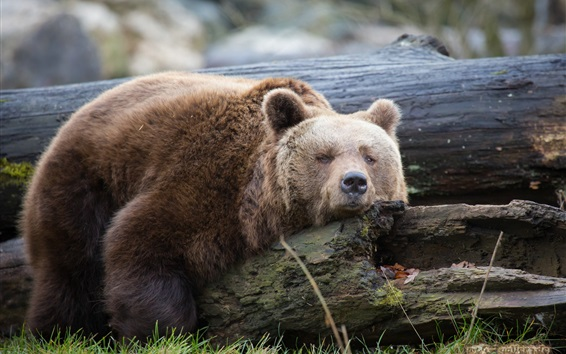 Wallpaper Brown bear rest