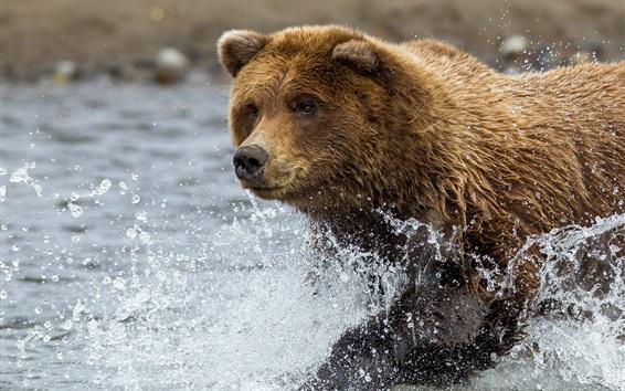 Обои Бурый медведь бежит в воде, плеск