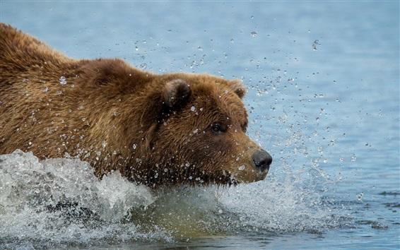 Papéis de Parede Marrom, cor, urso, natação, água