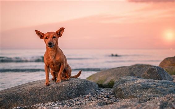 Wallpaper Brown dog, sea, stones