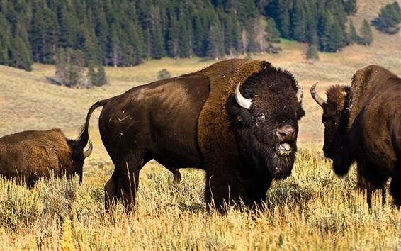 Wallpaper Buffalo, grass, trees