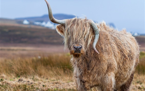 Wallpaper Bull different horns