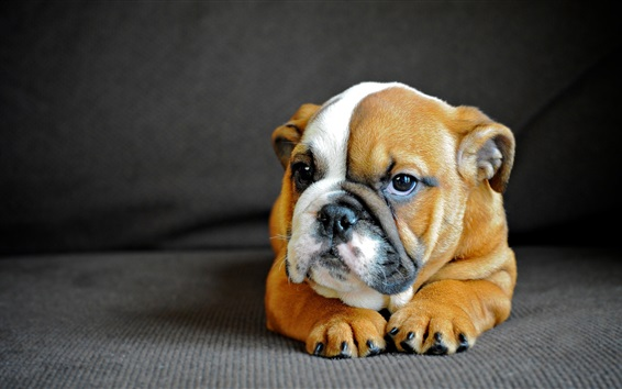 Wallpaper Bulldog, cute puppy front view