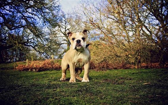 Fondos de pantalla Bulldog, hierba, árboles