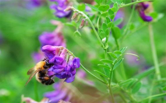 Обои Шмель, фиолетовые цветы, зеленые листья