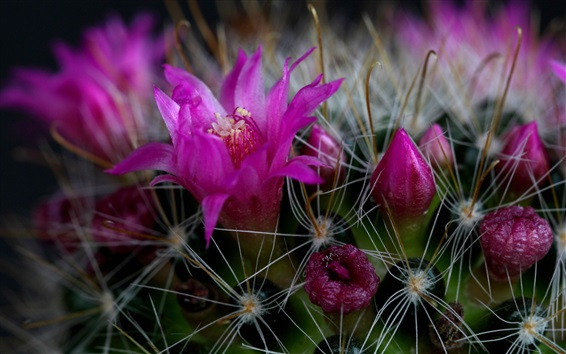 Wallpaper Cactus pink flowers macro photography