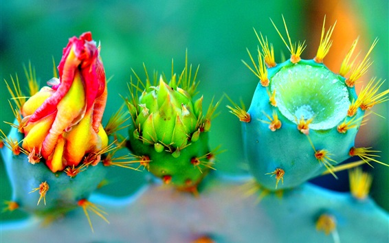 Wallpaper Cactus three different flowers